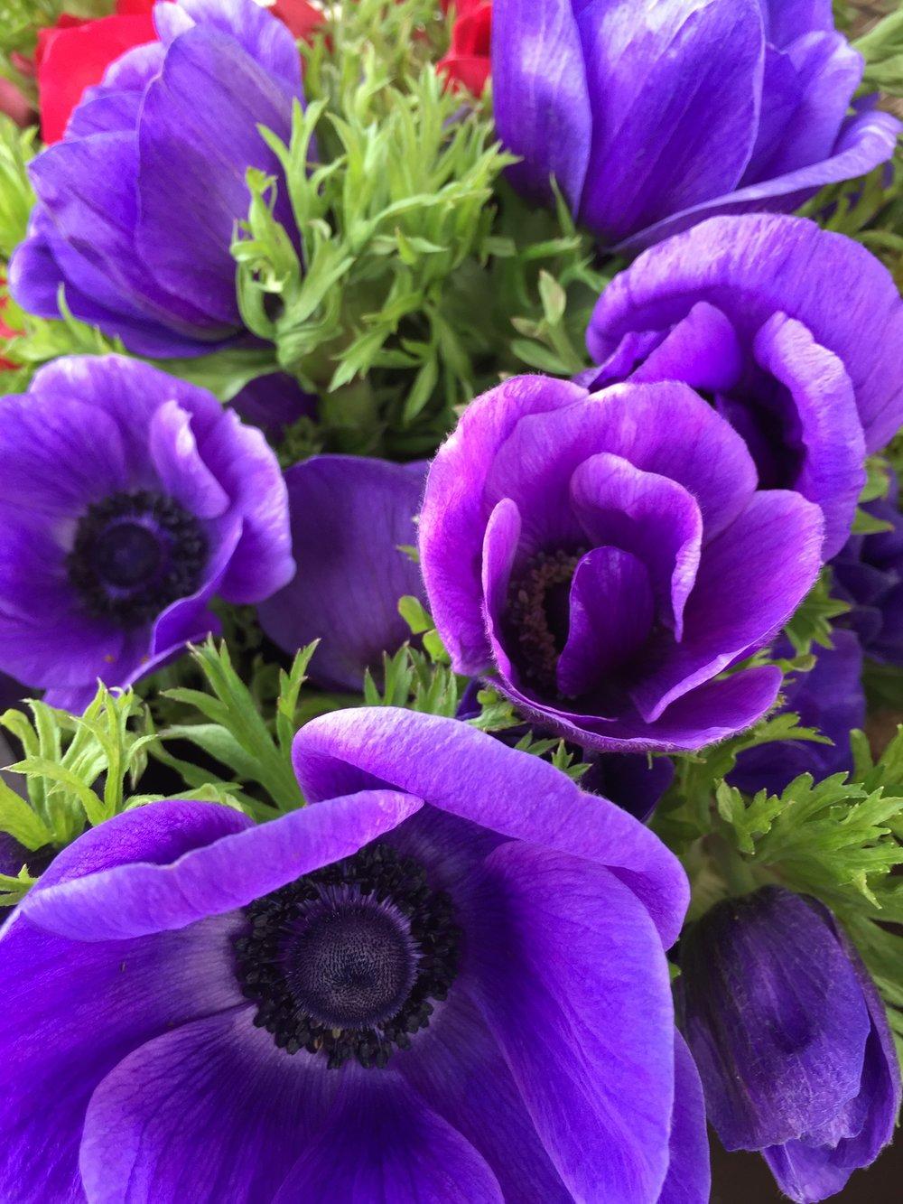 grey winter, purple anemones