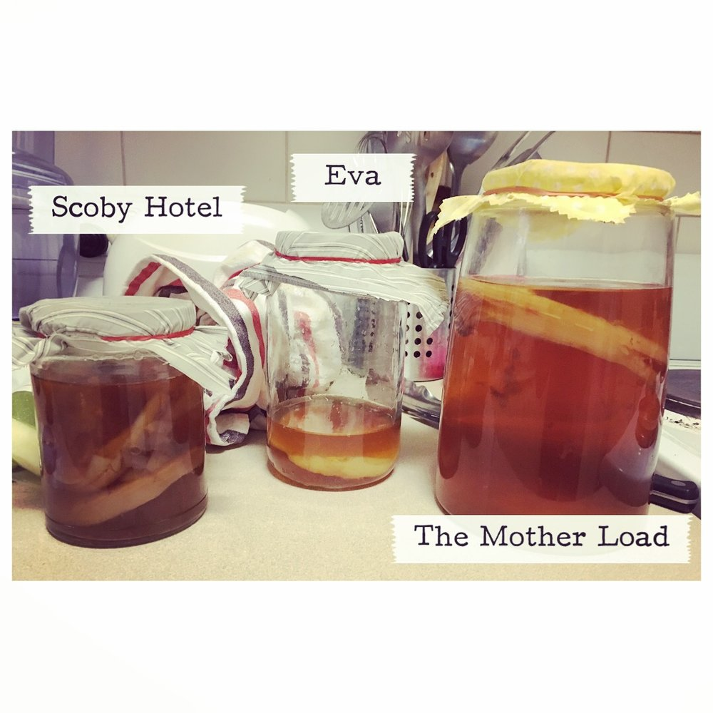 My collection of Kombucha scobys, and one I've prepared for a friend (in the middle)