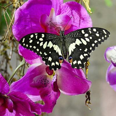 farfalle.jpg