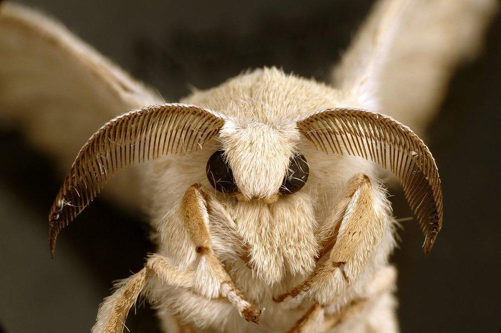 The domesticated silk moth, Bombyx mori -  cute!