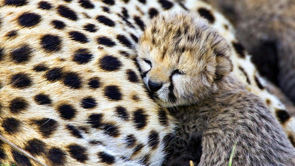 This baby cheetah is stoked about not being in a lab
