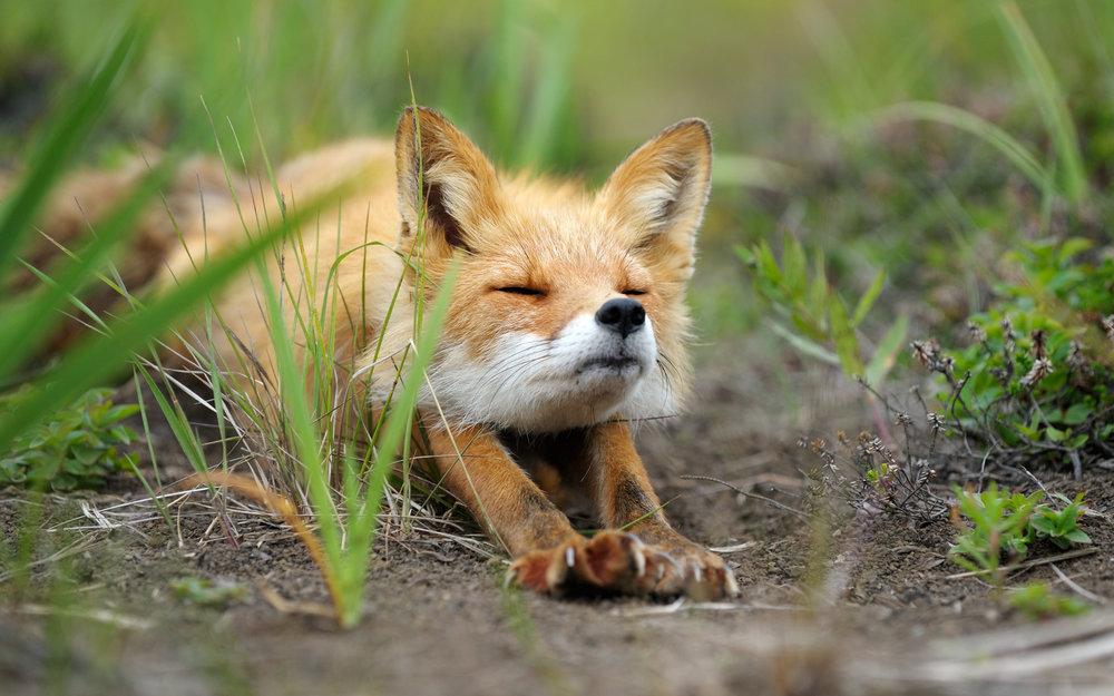 Downward fox