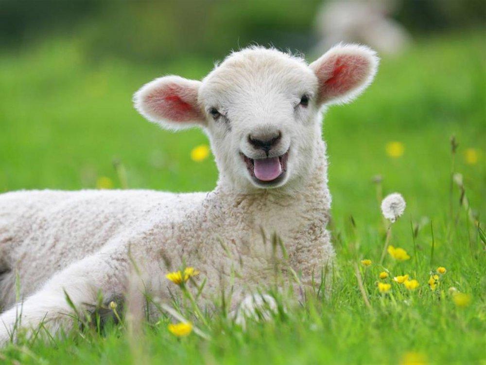 Happy lab testing free lamb