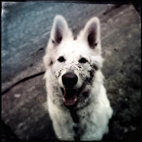 Aino-Kaarina Pajari, Pieni valkoinen koira 2014-15