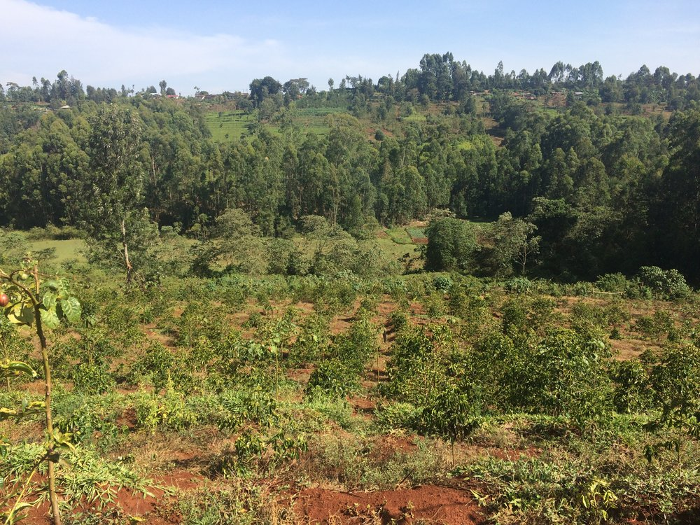 The batian variety is being cultivated in Ngoe Estate, potentially generating greater yields with reduced agrochemical usage due to its natural resilience to pests and diseases.