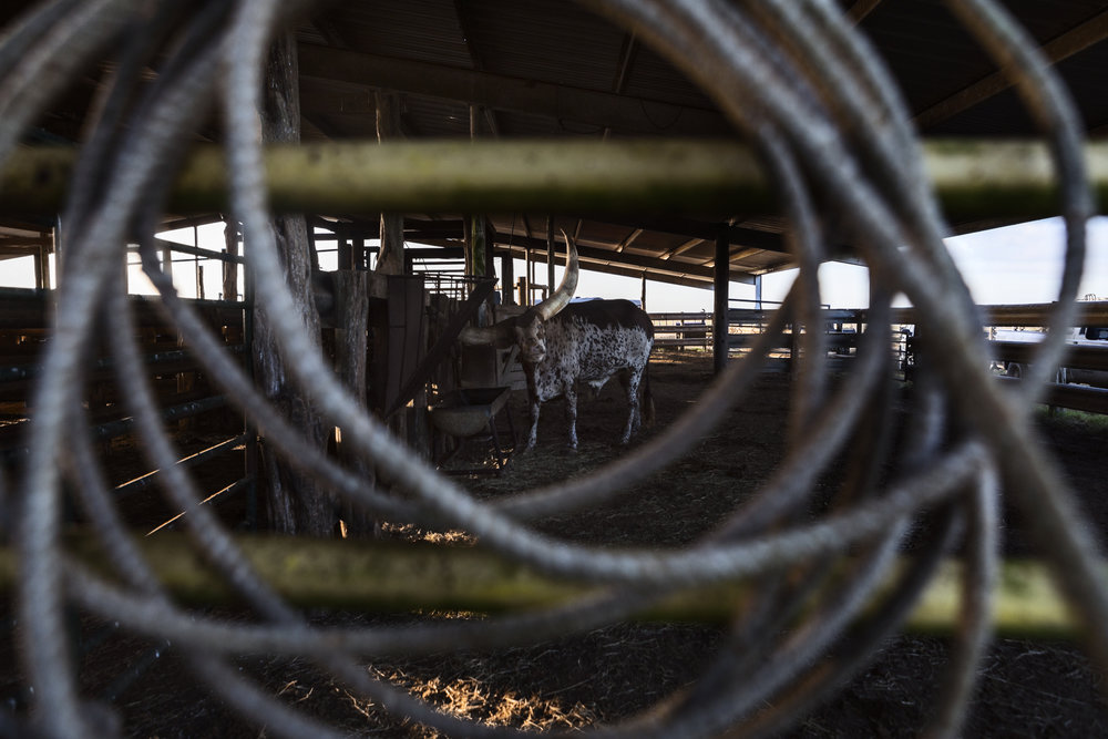 An Ankole-Watsui steer, also known as a Ankole Longhorn, restlessly stands in a pen under the main barn of the Kaechele Ranch during in the scorching summer heat.