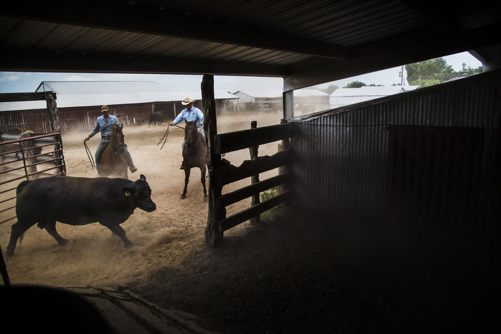 Frank and Ryan herd a cow into the barn in order to get vaccinated.