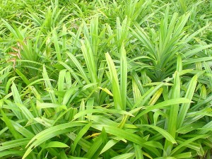 pandan leaves in the wild