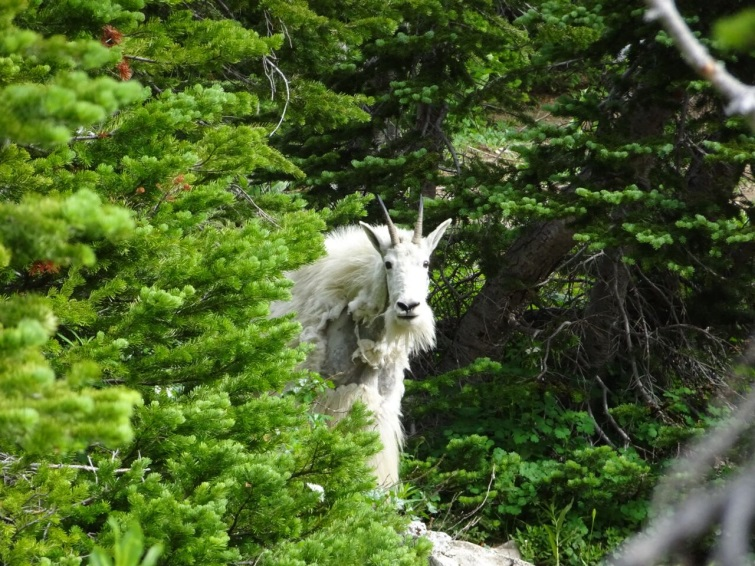 mountain-goat-bob-marshall-wilderness