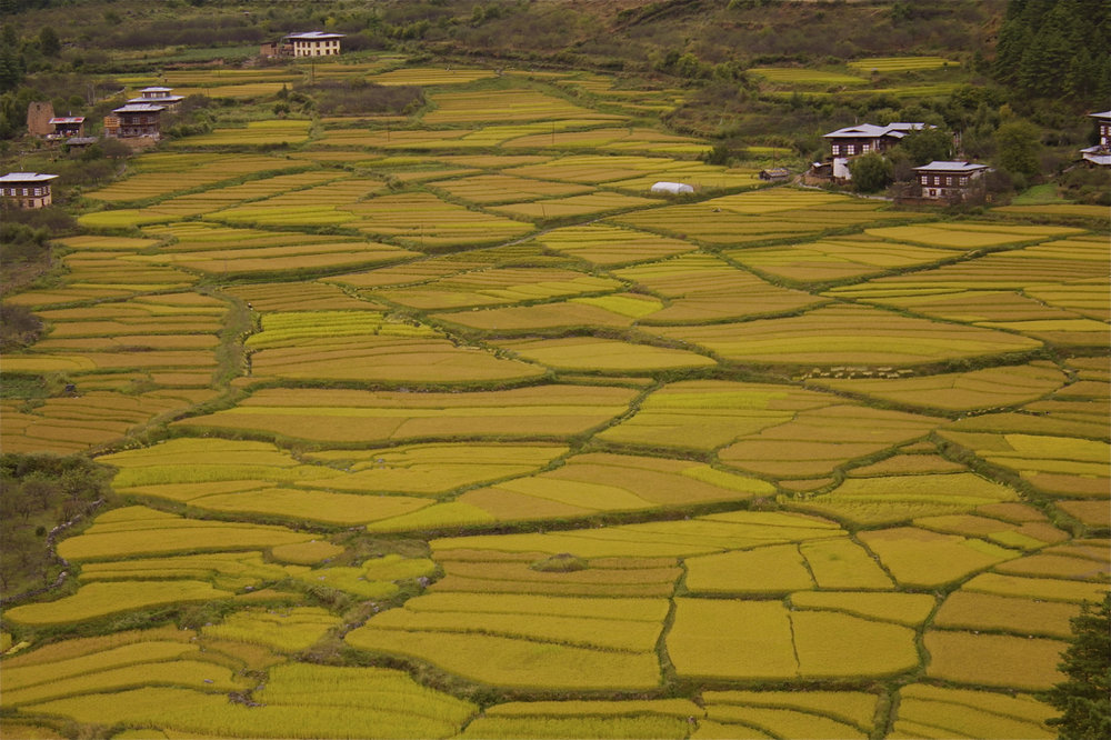 Fields of food in Bhutan Photo  by Tshering Lhamtshok