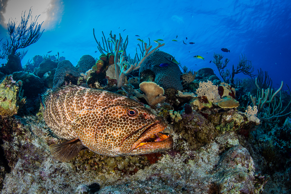 Tiger Grouper (Mycteroperca tigris), Turks & Caicos Islands
