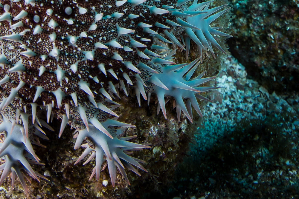 Crown of Thorns (Acanthaster planci), La Paz, Mexico