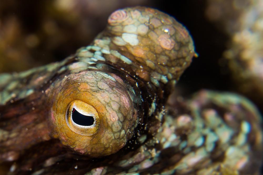 California two-spot octopus (Octopus bimaculoides), Santa Cruz Island, CA