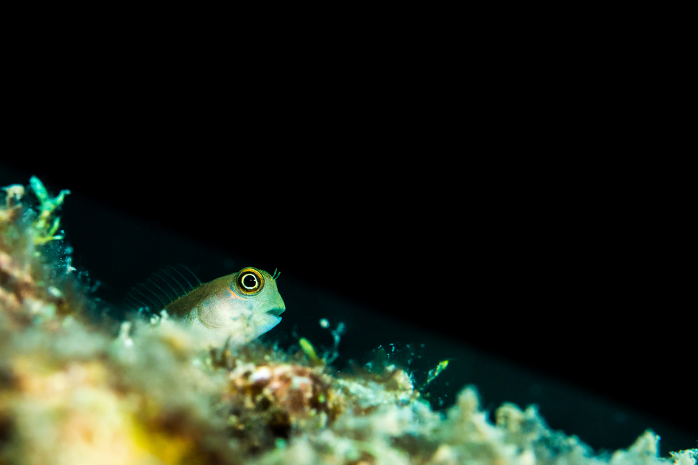 Bicolor Blenny (Ecsenius bicolor), Narcandom Island, Andaman Sea, India