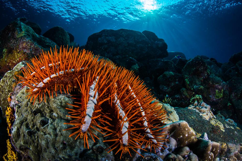 Crown of Thorns (Acanthaster planci), Barren Island, Andaman Sea, India