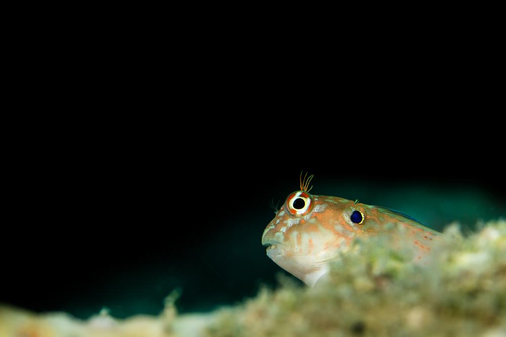Earspot Blennie (Cirripectes auritus), North Cinque Island, Andaman Sea, India