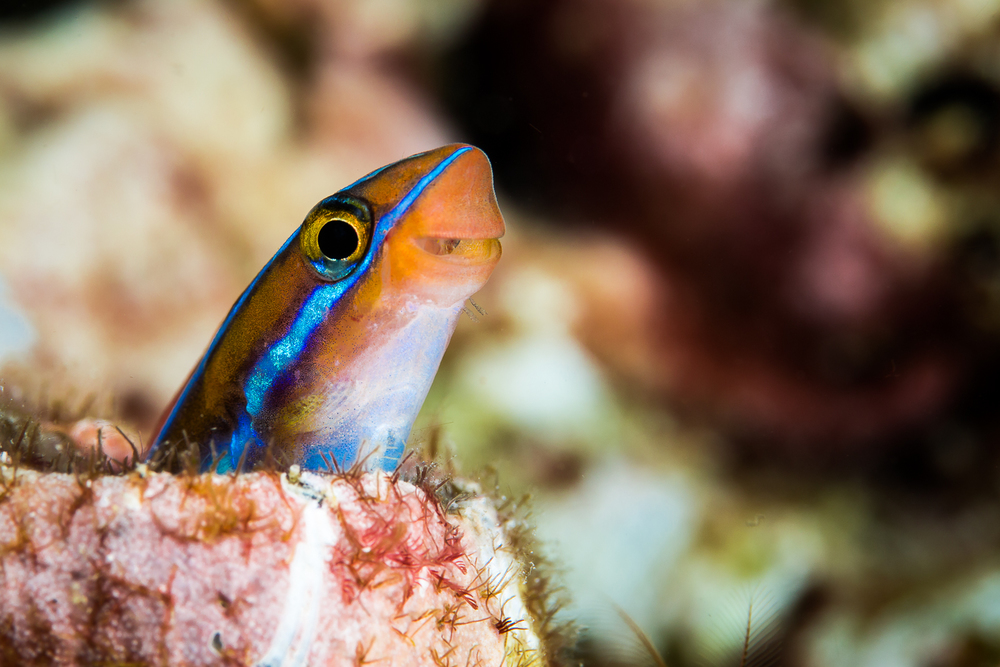 Blue Lined Sabertooth Blennie (Plagiotremus rhinorhynchos), North Cinque Island, Andaman Sea, India