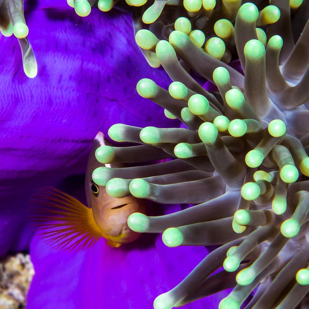 Skunk Clownfish (Amphiprion akallopisos) and Magnificent Sea Anemone (Heteractis magnifica), Barren Island, Andaman Sea, India