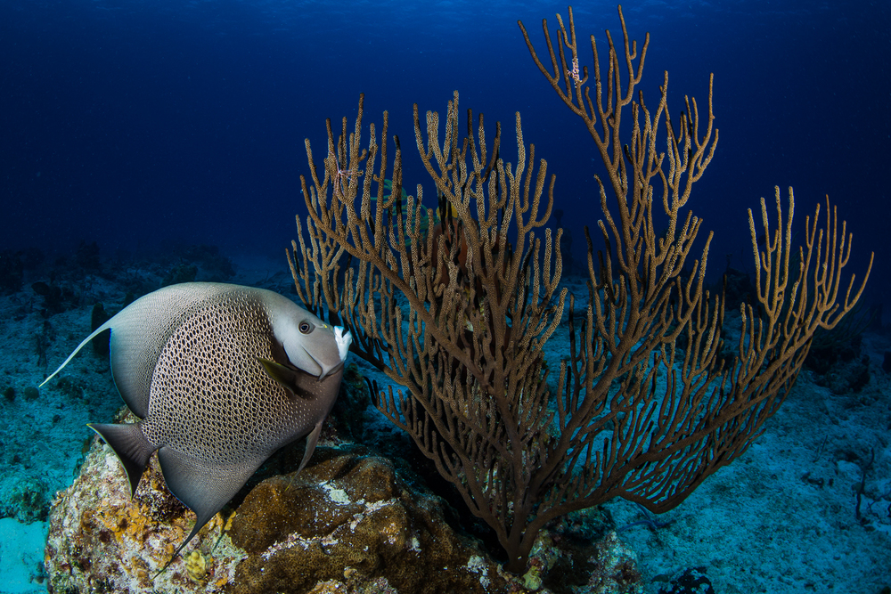 Gray Angelfish (Pomacanthus arcuatus), Turks & Caicos Islands