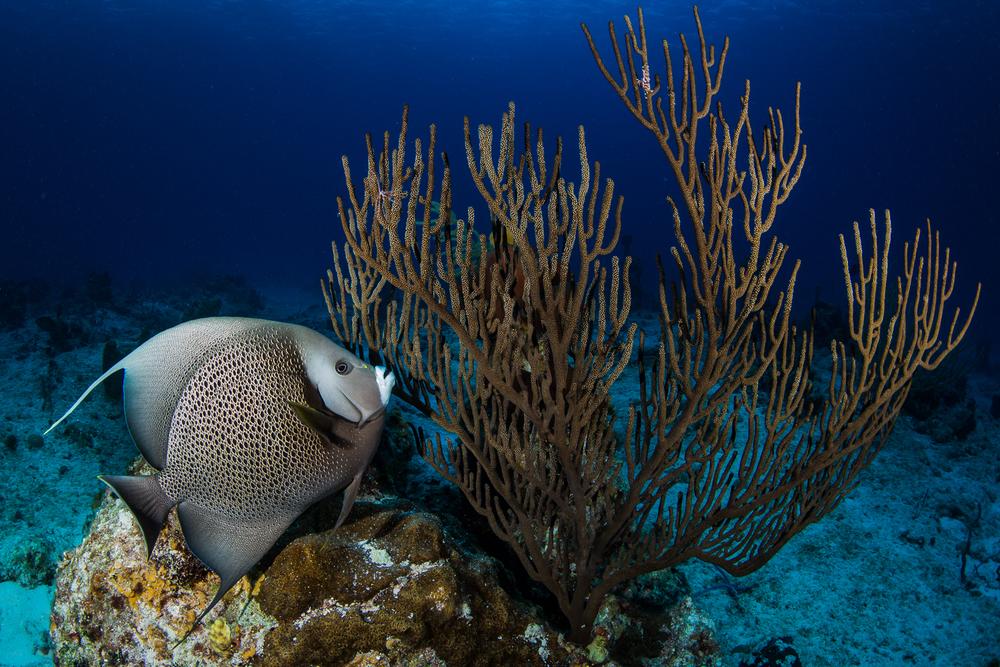 Gray Angelfish (Pomacanthus arcuatus), Turks & Caicos Islands