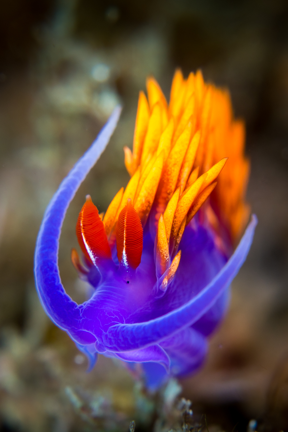 Spanish Shawl (Flabellina iodinea), photographed at Santa Cruz Island, CA