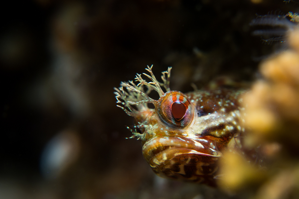 Yellowfin Fringehead (Neoclinus stephensae), Santa Cruz Island, CA