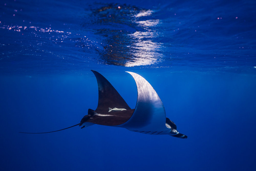 Manta Ray, Mo'orea, French Polynesia