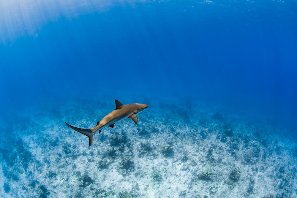 Carribean Reef Shark (Carcharhinus perezii), Turks and Caicos Islands