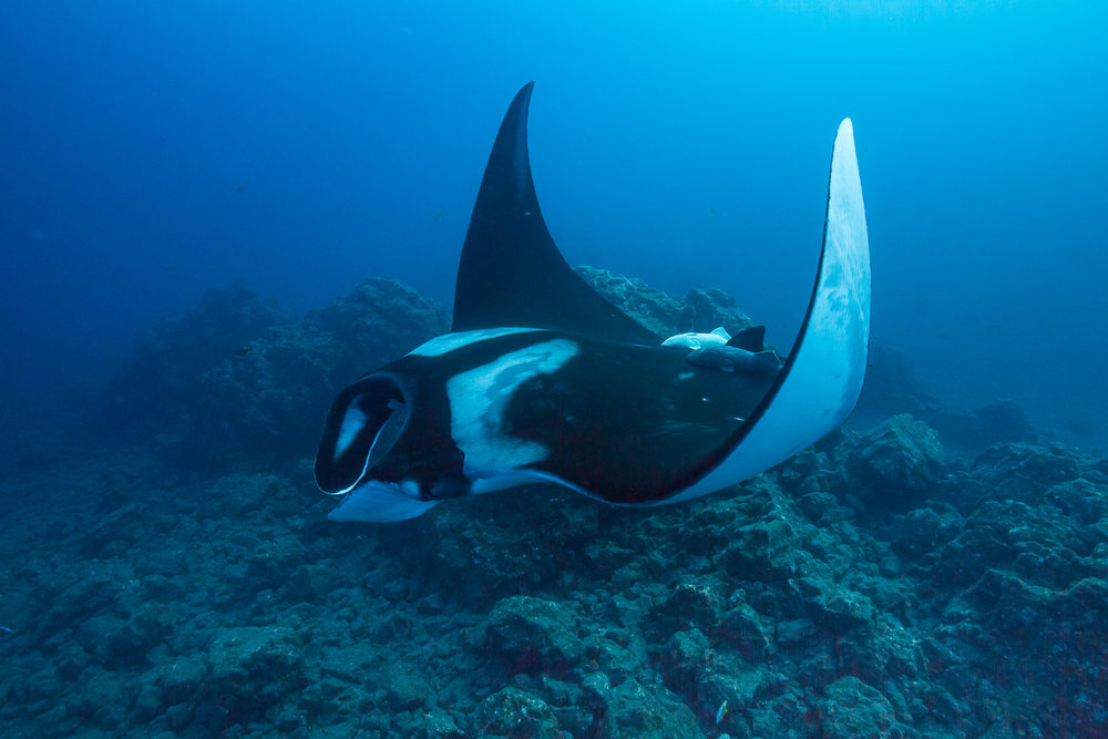 A large Manta Ray makes a close pass at San Benedicto Island.