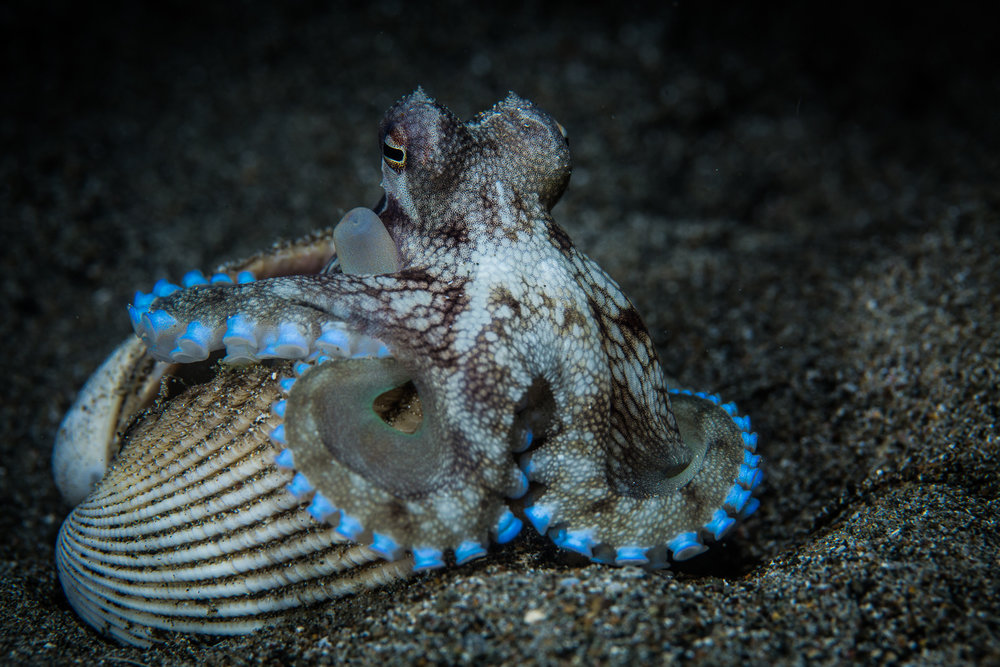 Amphioctopus marginatus, also known as the coconut octopus