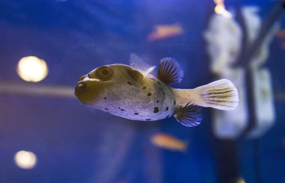 HBDC Blue Fish Jpeg.jpg