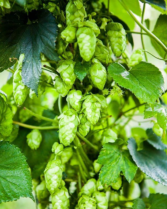 Can I see a raise of hands who's drinking local this weekend? #drinklocal #drinkcraft #lovehops
