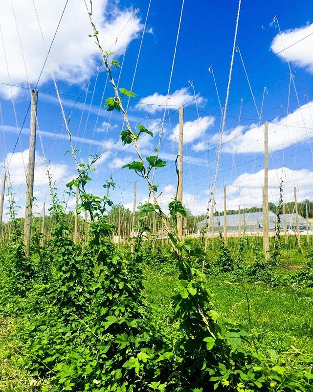 Only 8 more feet to go. #iphonepick #lovehops #hopfarm