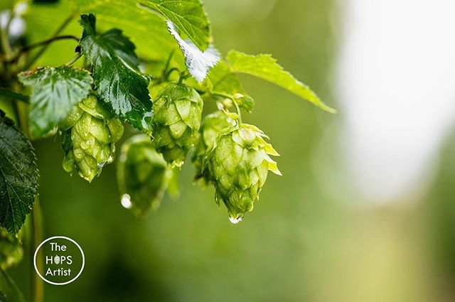If you live in the Midwest you know the amount of rain that has fallen. Personally I love it but it makes it hard to get work done in the field. Pretty soon we will be seeing these nuggets. #nebraskabeer #lovehops #hopfarm