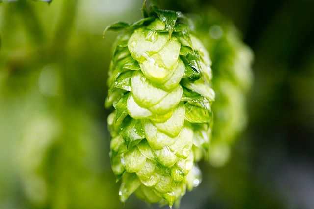 #cheers to all the hop growers working hard to deliver the best hops possible. #beer #supportlocal