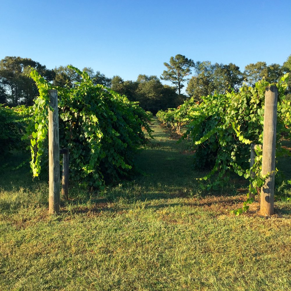 Muscadine vines at Morgan Creek Vineyards