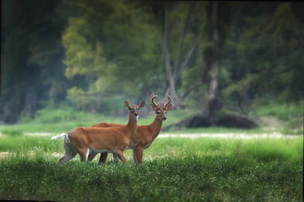 two-deer-in-green-field.jpg