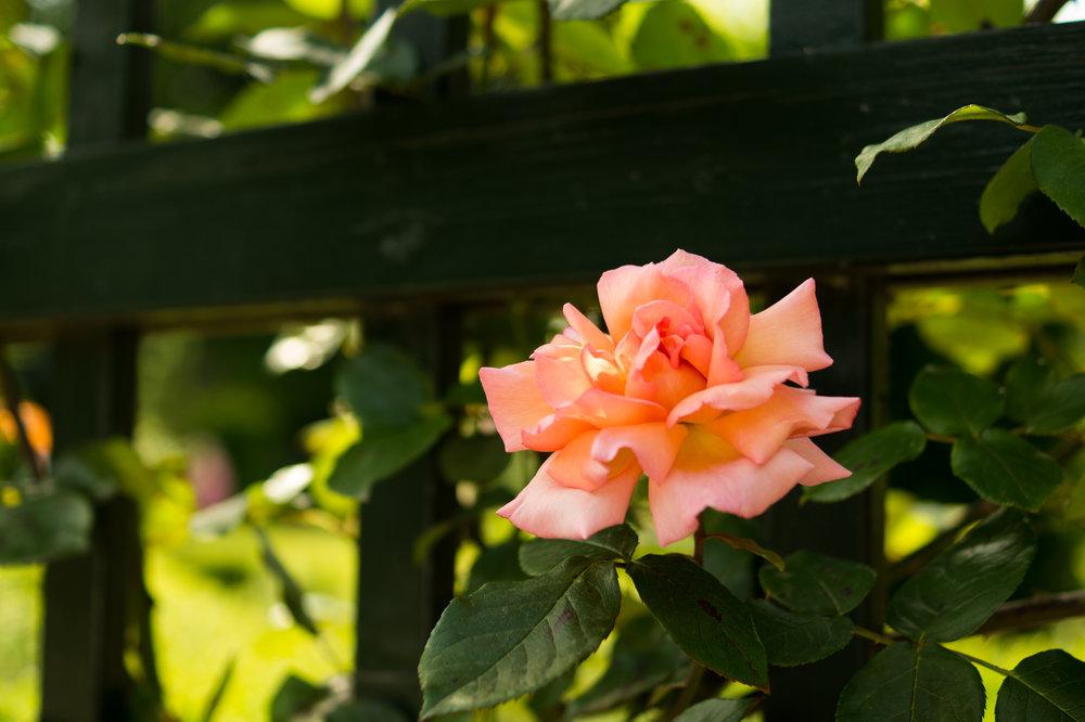 climbing-rose.jpg