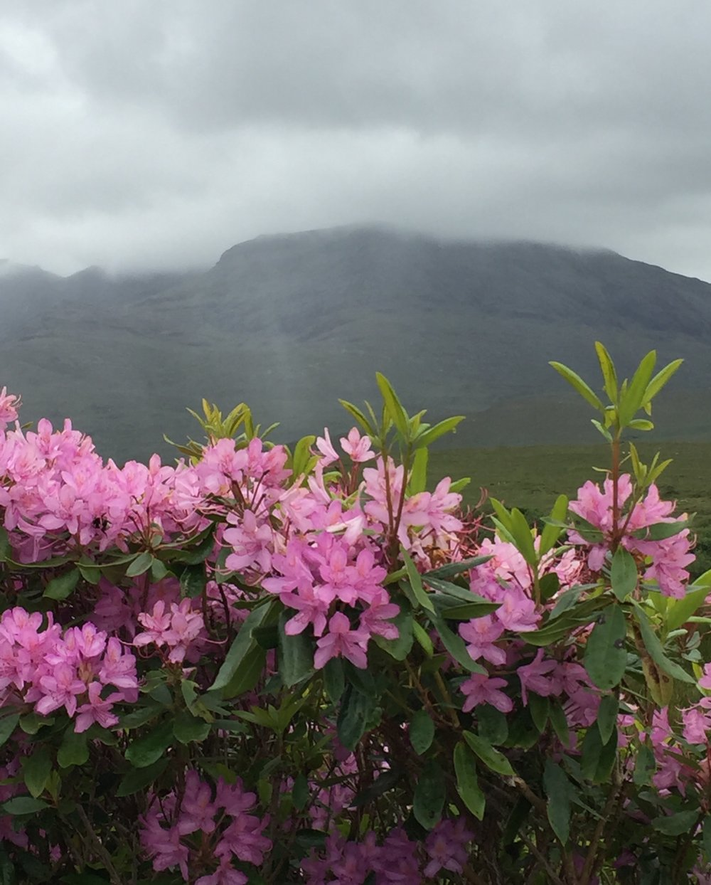 Rhododendrons in bloom in Connemara