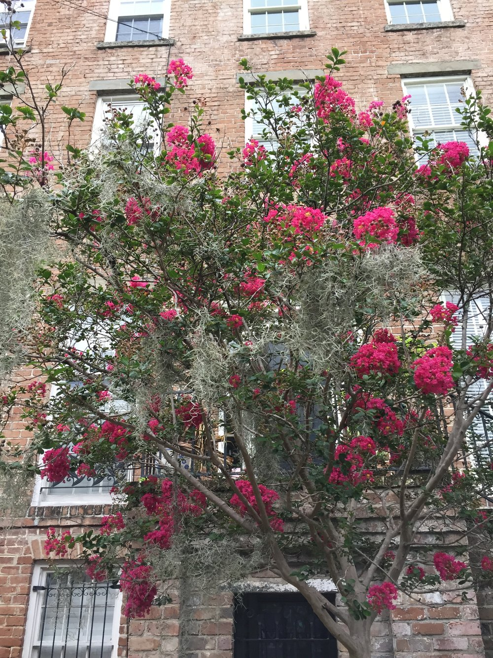 A tall crepe myrtle draped with Spanish moss.