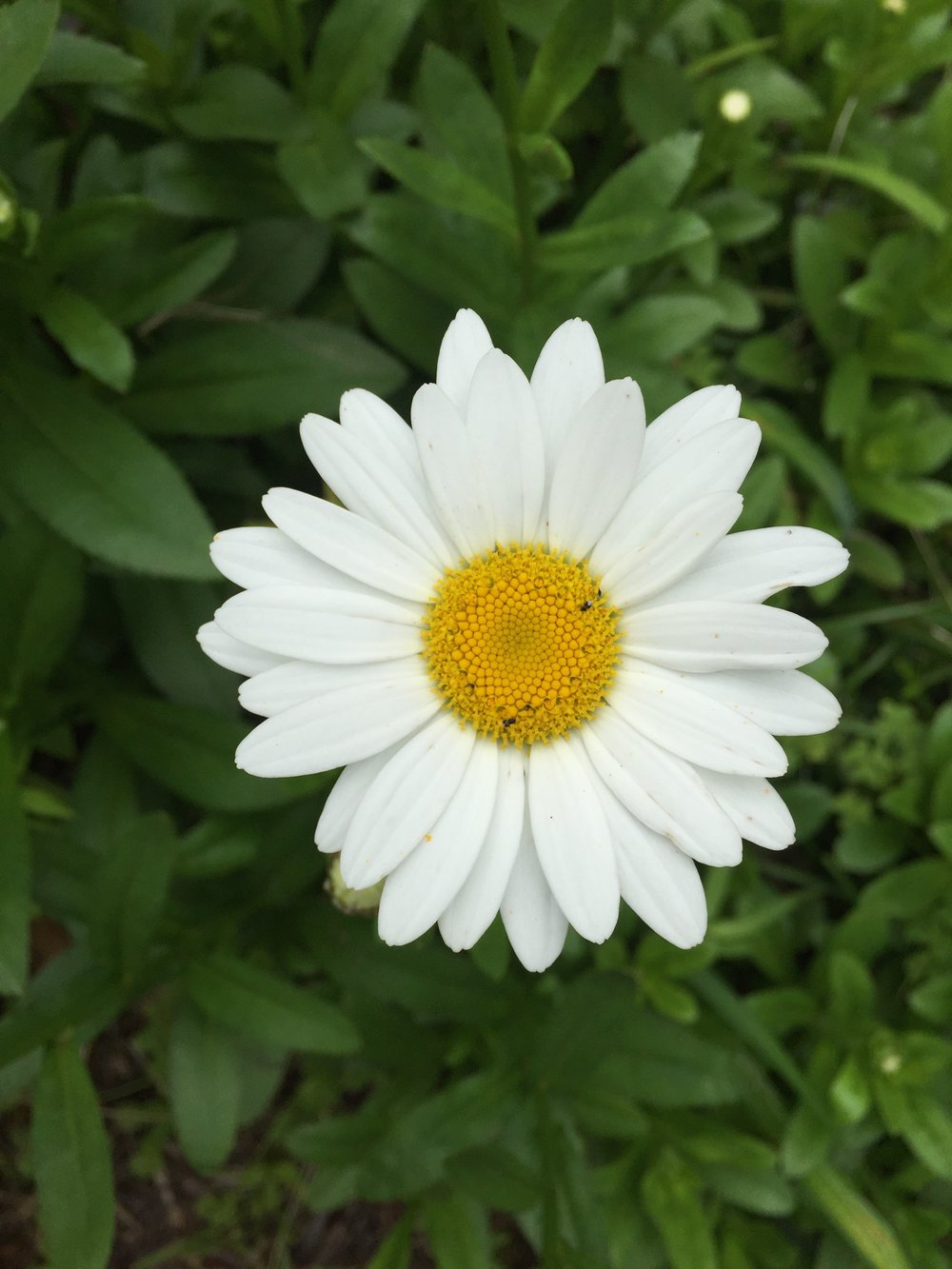 A simple daisy, fully open, offering its face to the world
