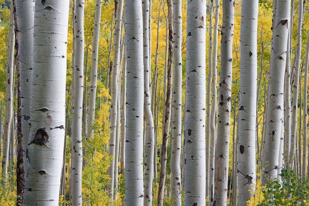 aspen-grove-fall.jpg