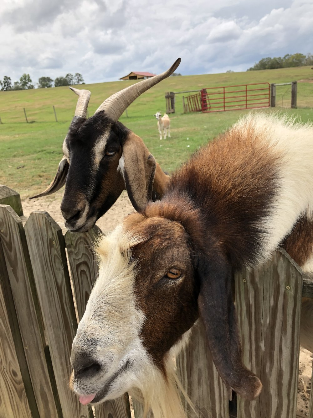 two-goats-at-fence.jpg