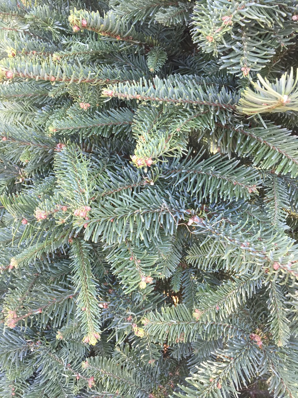 fraser-fir-tree-close-up.jpg