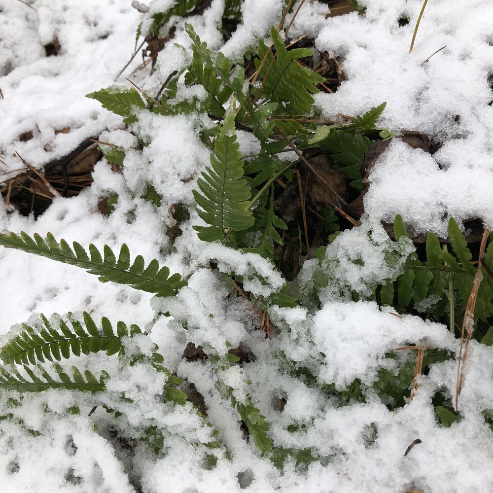 A fresh green fern looks out of season covered in snow.