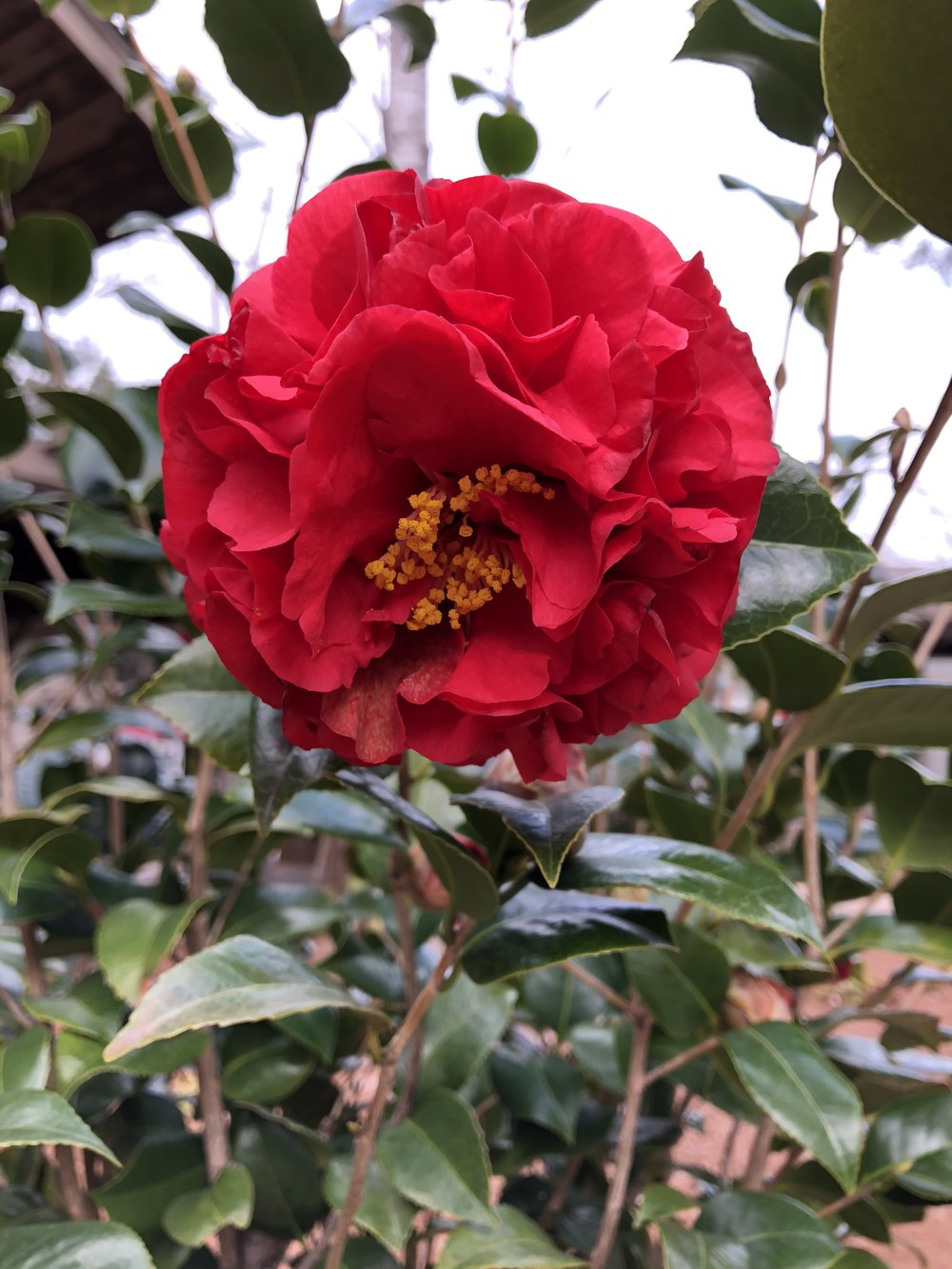 A camellia bursting with color on a gray, overcast day at Callaway Gardens.
