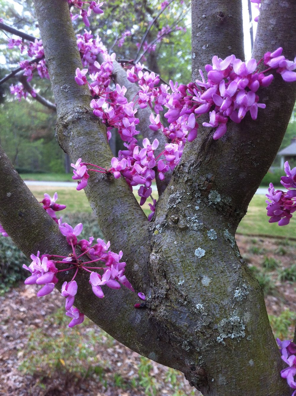 One of our redbud trees.
