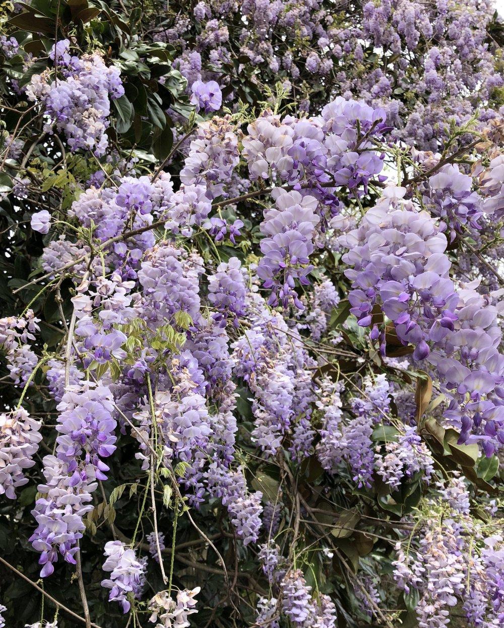 wisteria-bunch.jpg