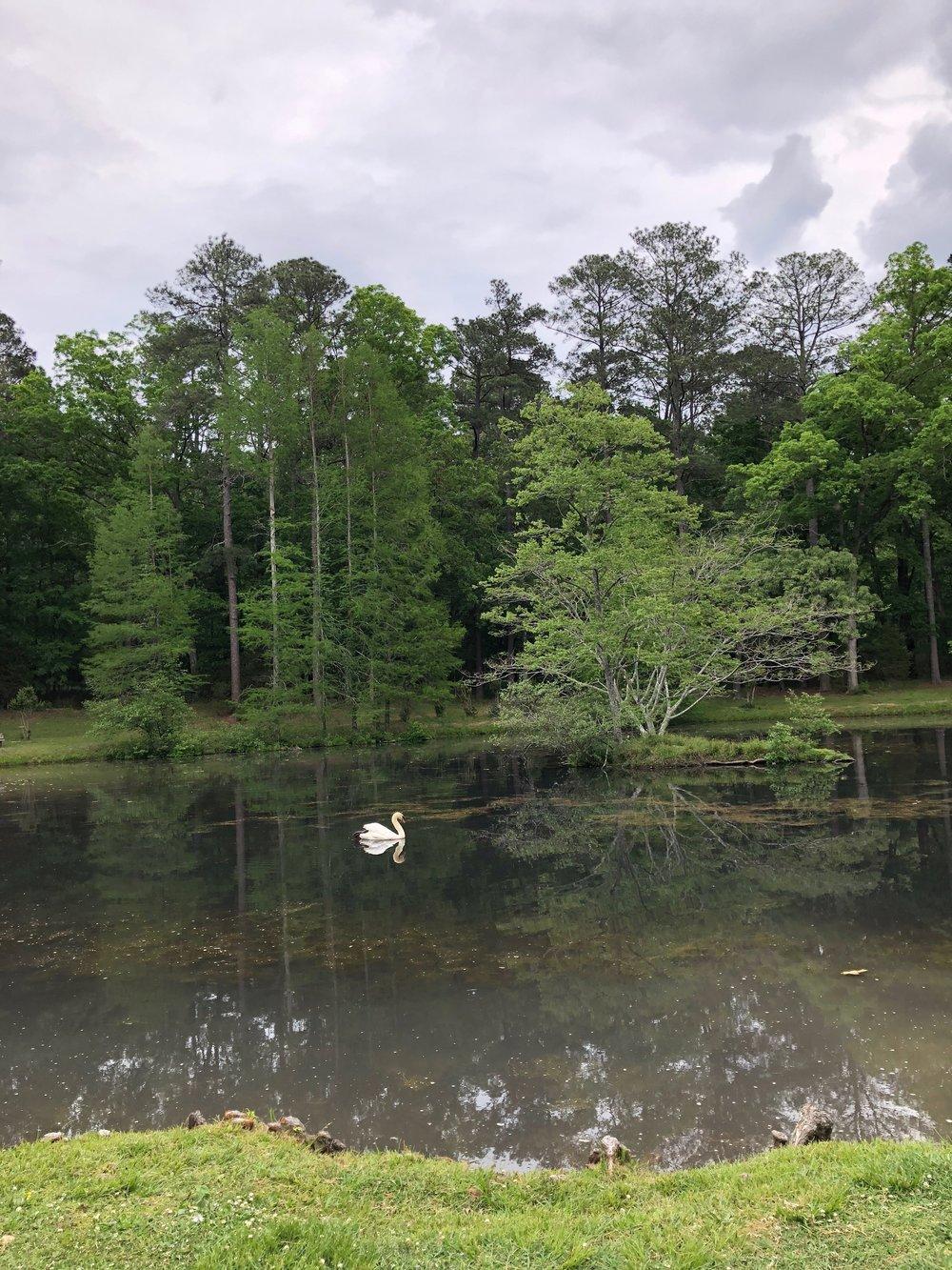 swan-on-lake.jpeg