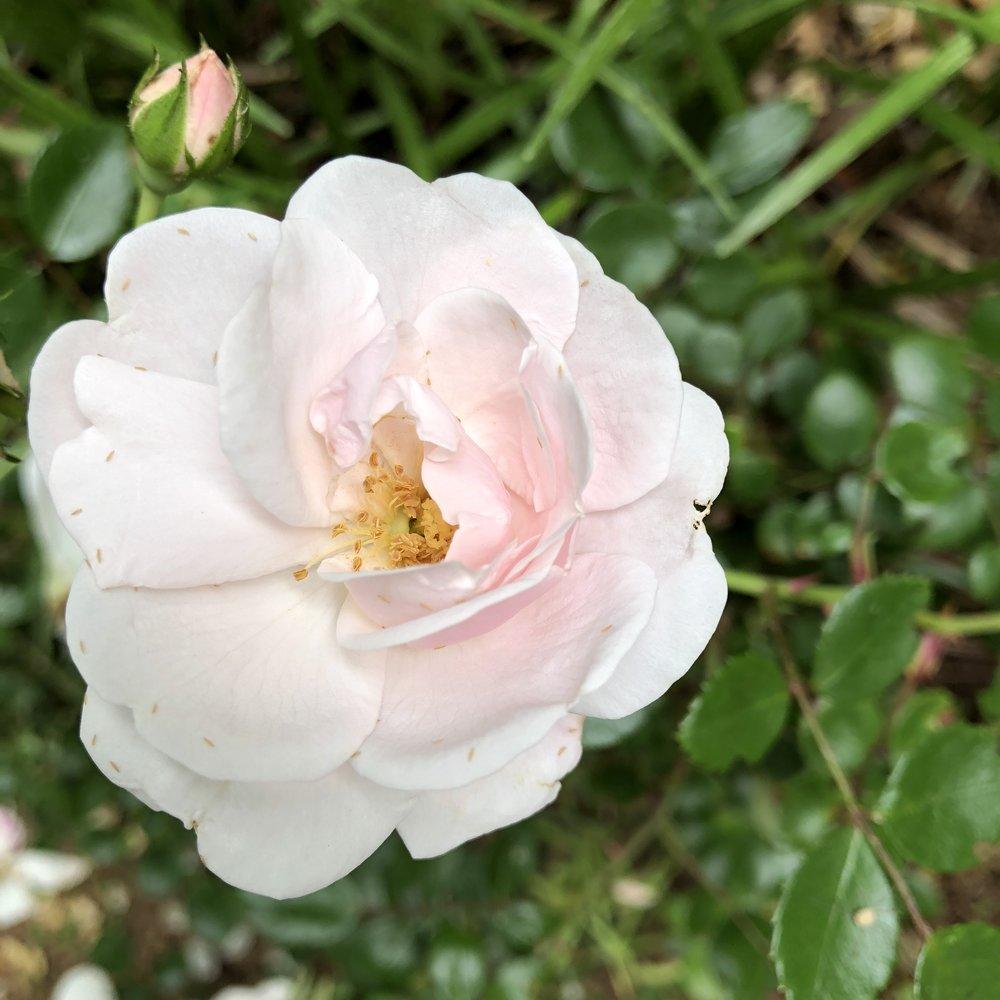 pink-rose-closeup.jpg